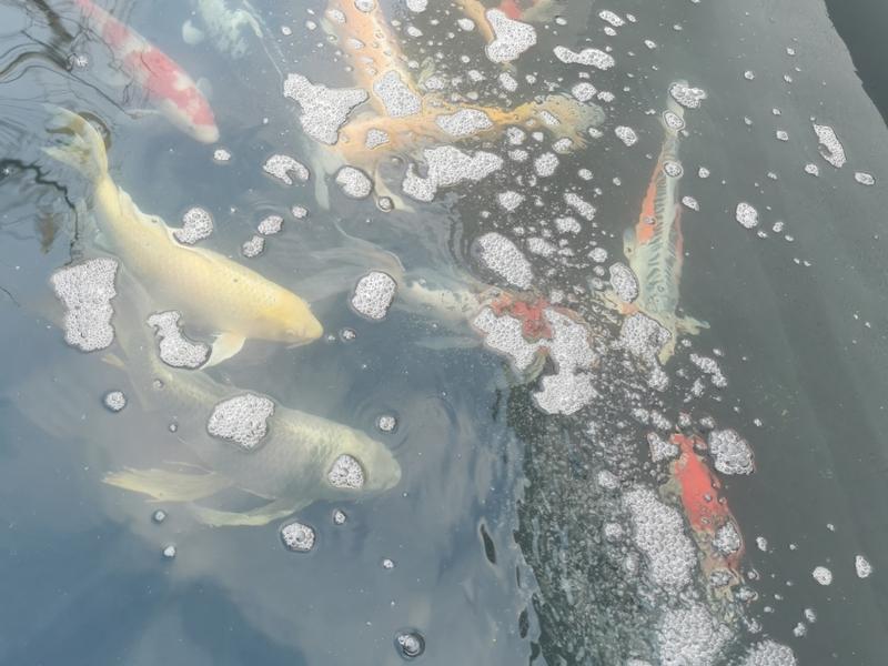 Koi Pond build in Cheshunt Hertfordshire