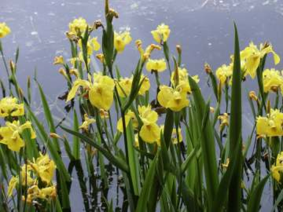 Aquatic Plant Suppliers